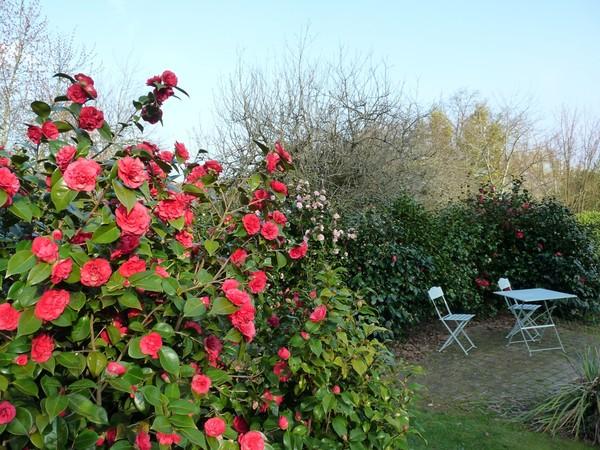 Camellia japonica fire falls - Camelia resistance au froid ...