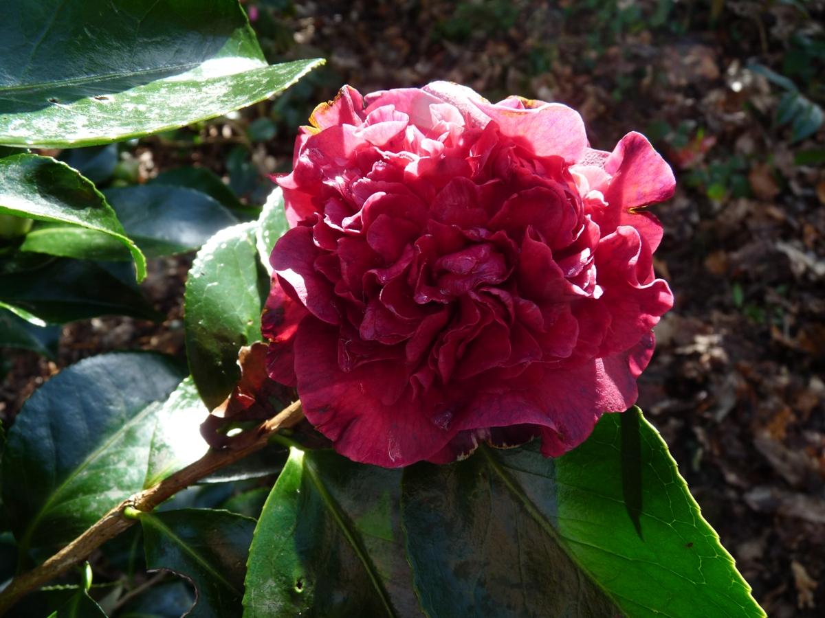 Camellias bretons - Camelia prenom ...