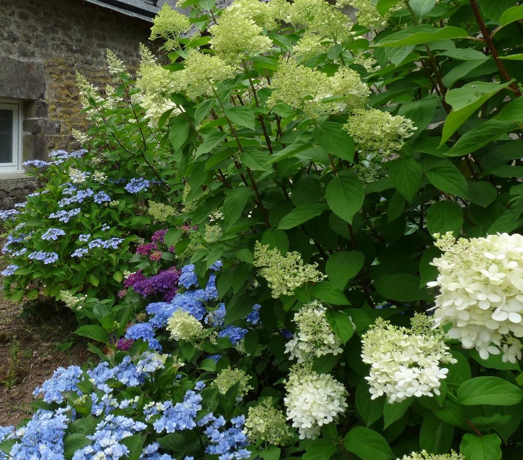 Massif d 39 hortensias - Quand couper les fleurs fanees des hortensias ...