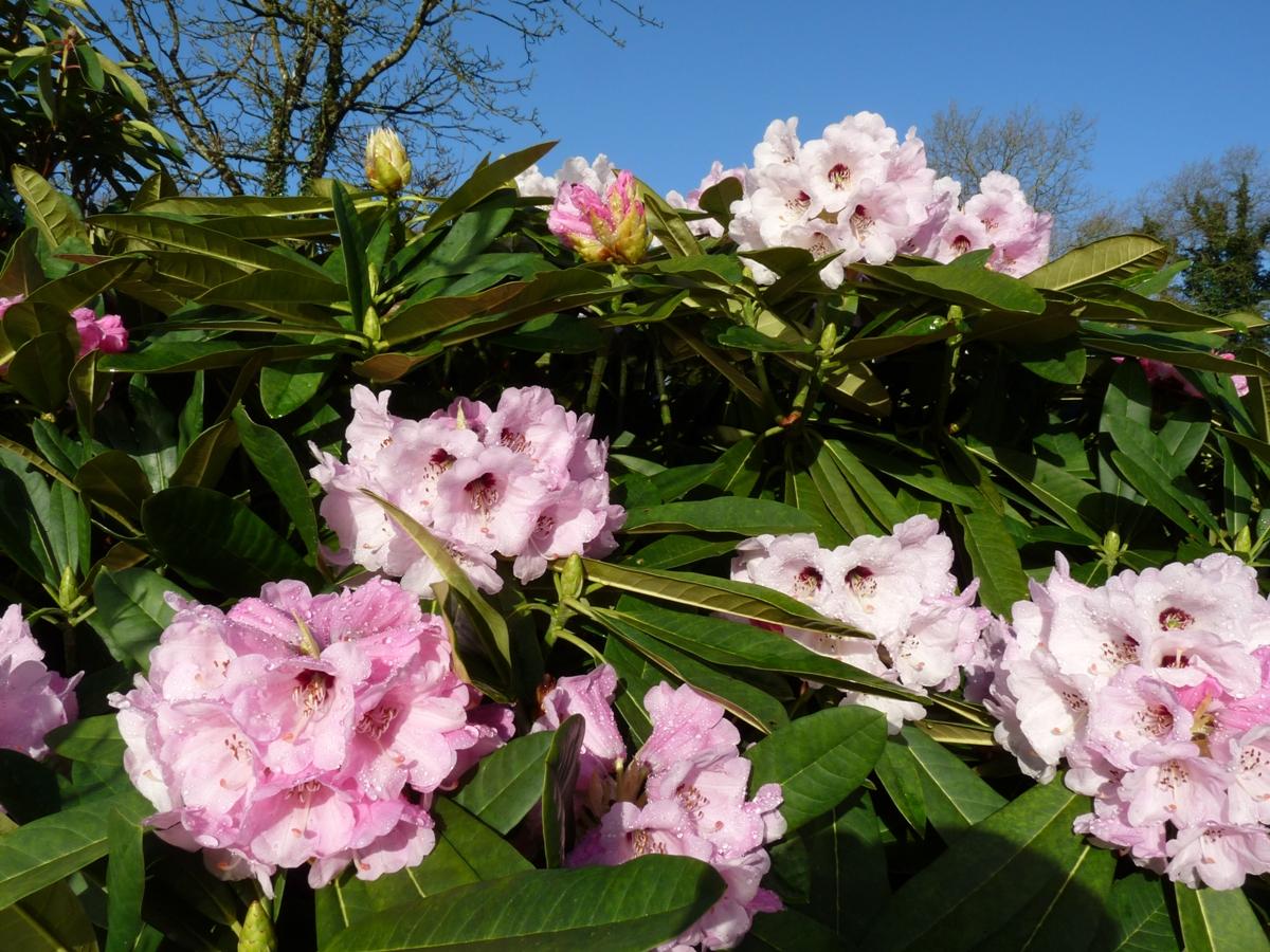 Rhododendrons especes - Rhododendron ne fleurit pas ...