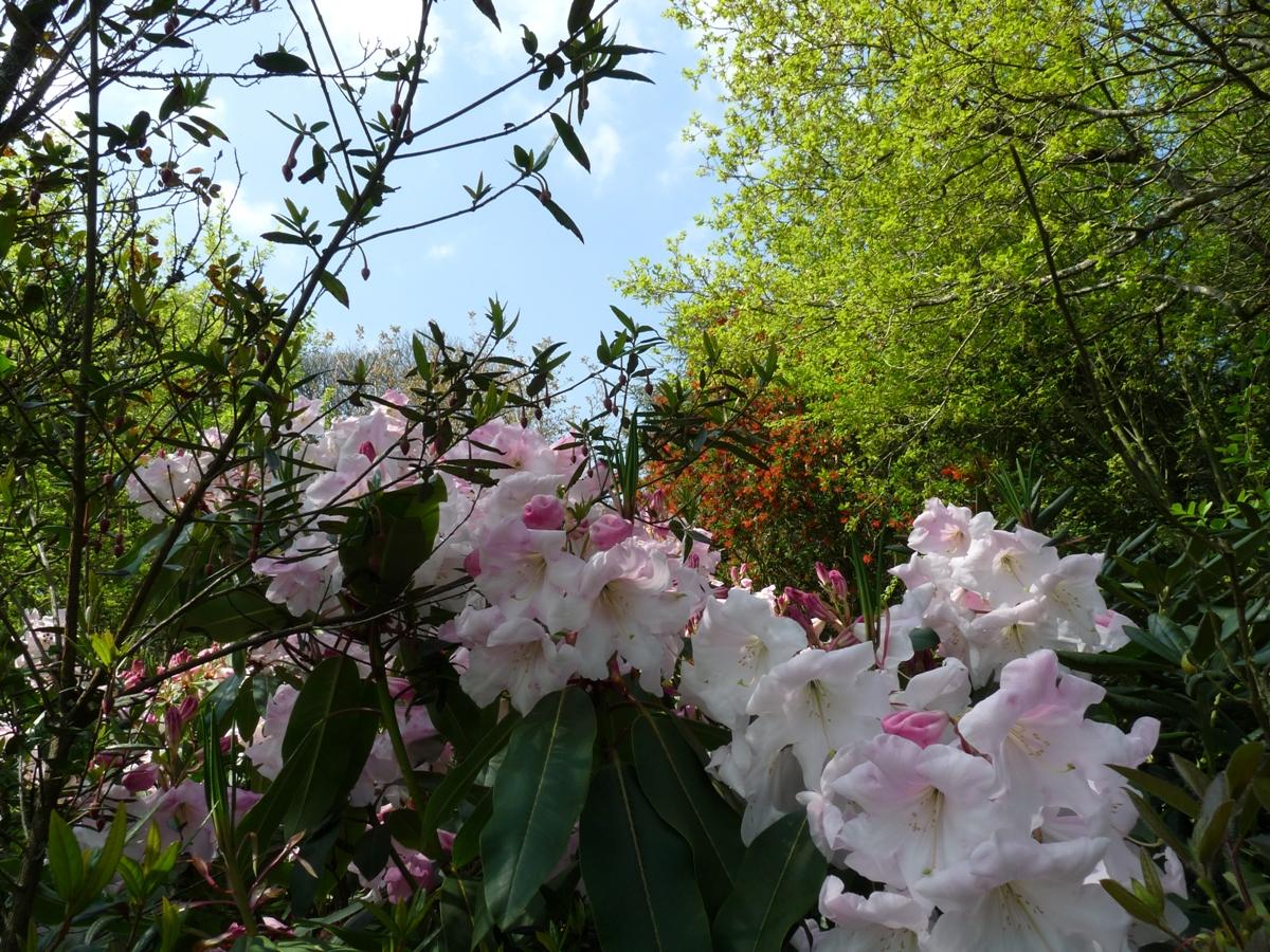 Rhododendron loderi - Rhododendron ne fleurit pas ...