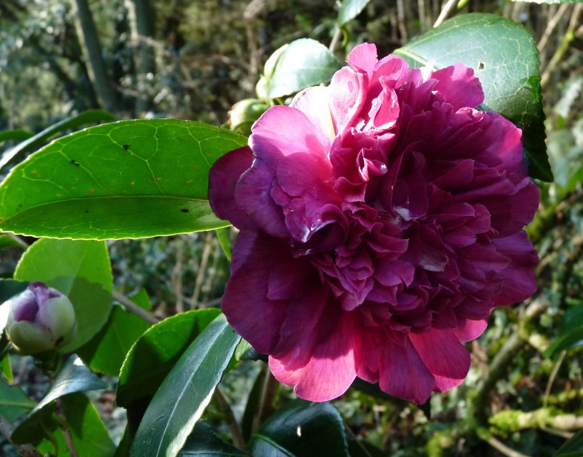 Camellias - Camelia resistance au froid ...