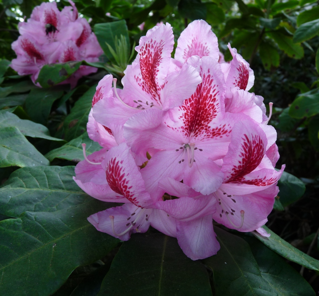 Rhododendron furnivall 39 s daughter - Rhododendron ne fleurit pas ...