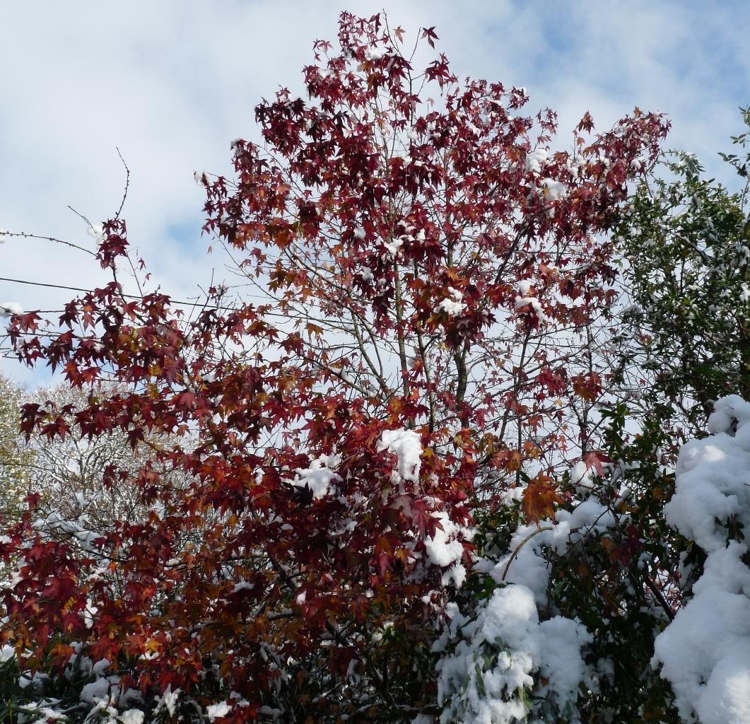 Le liquidambar est l'un des arbres qui gardent le plus longtemps son